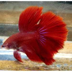 ikan cupang merah