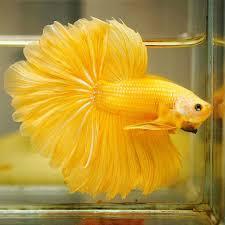 Ikan cupang kuning