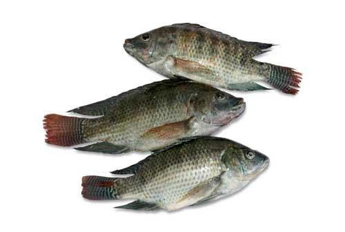 Ikan nila Jatimbulan