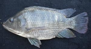 Ikan nila Kunti