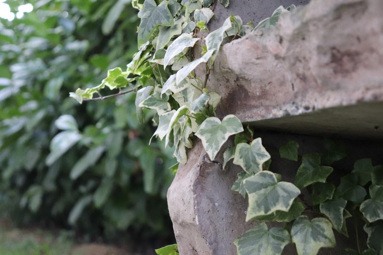 tanaman rambat ivy