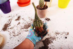 cara repotting kaktus