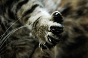 merawat kuku kucing