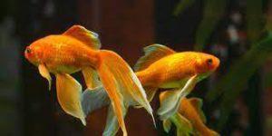 ikan goldfish