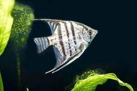 ikan angel fish