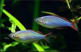ikan rainbowlfish