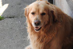 Anjing Golden Retrivier