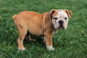 anjing english bulldog