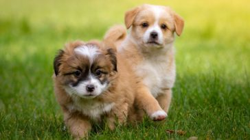 jenis anjing kecil yang tidak bisa besar