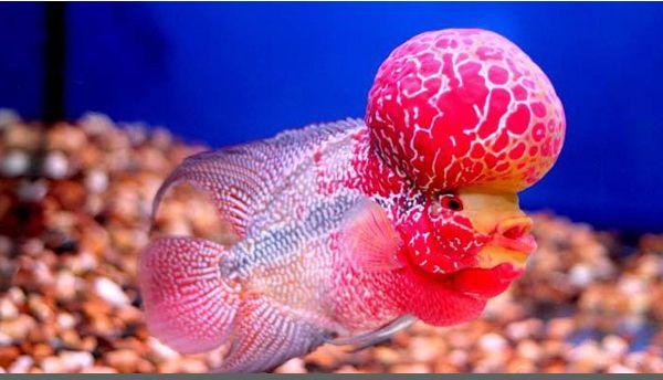 jenis ikan louhan